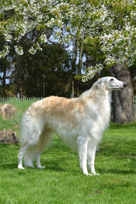 russian wolf borzoi russian wolfhound borzoi gardens coloring and waterproof