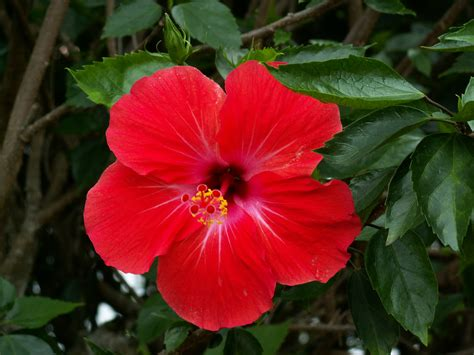 wallpaper bunga raya bunga raya nationalblume malaysias roter hibiskus bunga