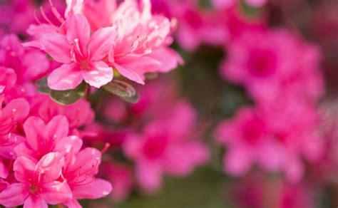 azalea in vaso azalea in vaso come curare i fiori vi hanno regalato