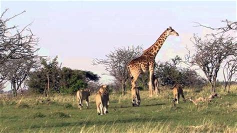 imagenes de leones cazando jirafas image gallery leones cazando jirafas