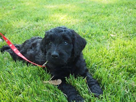 goldendoodle puppy black black goldendoodle puppy soon