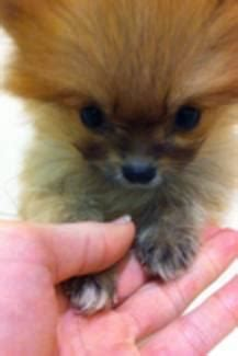 pomeranian puppies for sale melbourne pomeranian breed puppies for sale melbourne australia free classifieds