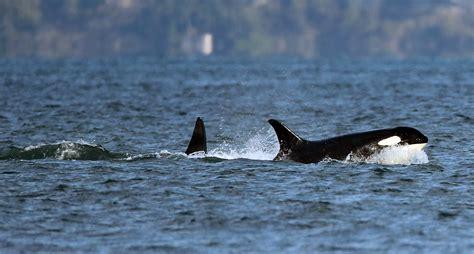 Orcas In Captivity Essay by Orcas In Captivity Essay Bamboodownunder
