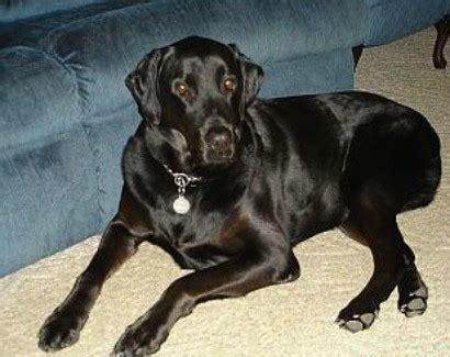 labrador rottweiler labrador rottweiler mix information and photos thriftyfun