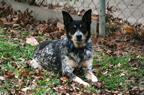 blue tick heeler puppies blue tick heeler shedding 28 images the aussie heeler