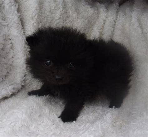 pomeranian puppies for sale lincolnshire black pomeranian dogs quotes