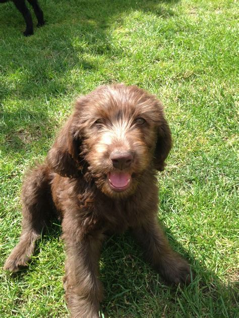 f1b labradoodle puppies for sale labradoodle puppies for sale breeds picture