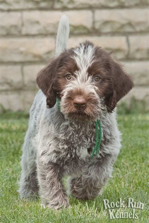wirehaired pointing griffon puppies wirehaired pointing griffon puppies cost f f info 2017