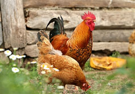 good backyard chickens un coq dans mon poulailler guide pour 233 lever des