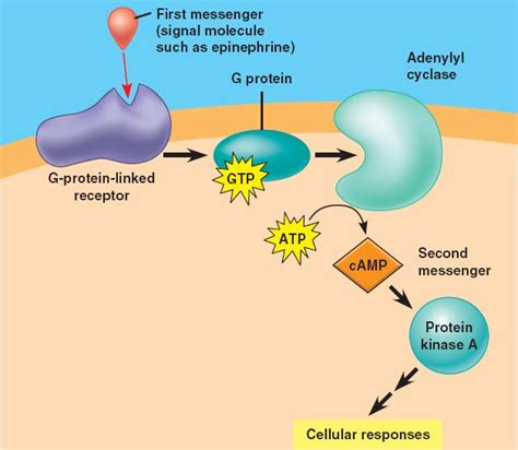 Chapter 11 Cell Communication G Protein Coupled Receptors Adenylyl Cyclase