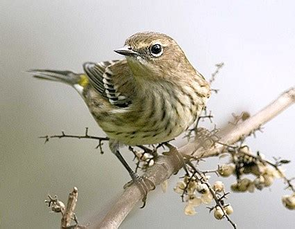 yellow rumped warbler identification all about birds