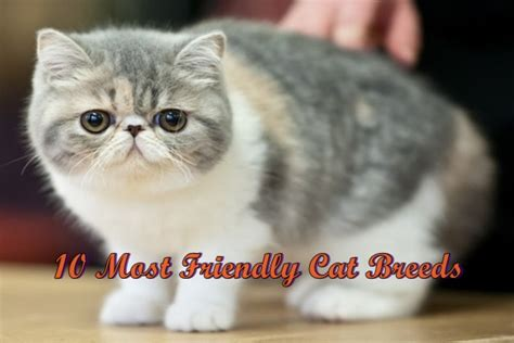 friendly breeds 10 most friendly cat breeds in the world
