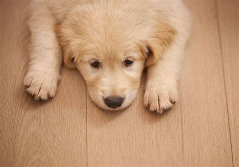puppies and diarrhea puppy diarrhea causes treatment symptoms american