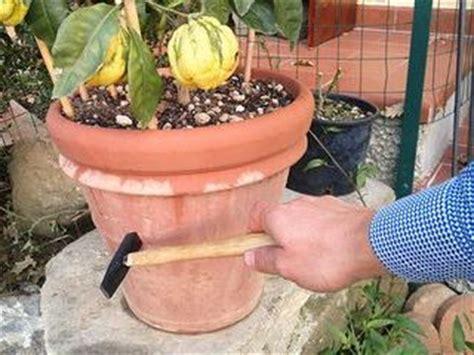 terriccio per limoni in vaso piante di limone in vaso in inverno date poca acqua
