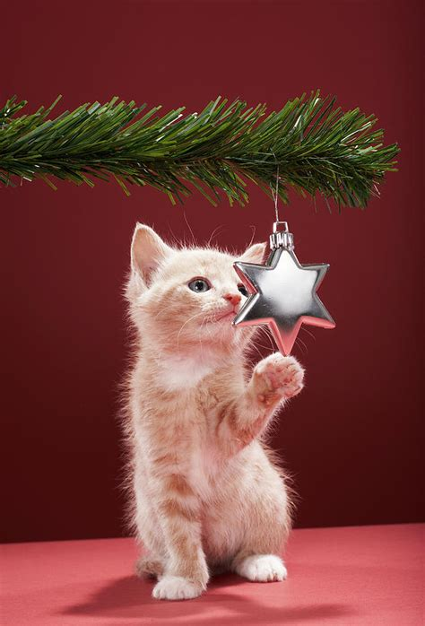 kitten pawing christmas decoration on tree photograph by
