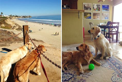 san diego golden retriever breeders weekend recap my socal d