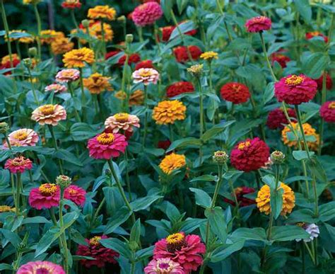 zinnias flower garden growing zinnias from seed higgledy garden