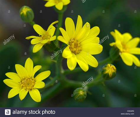 shrub with yellow like flowers othonna dentata yellow like flowers blooms succulent