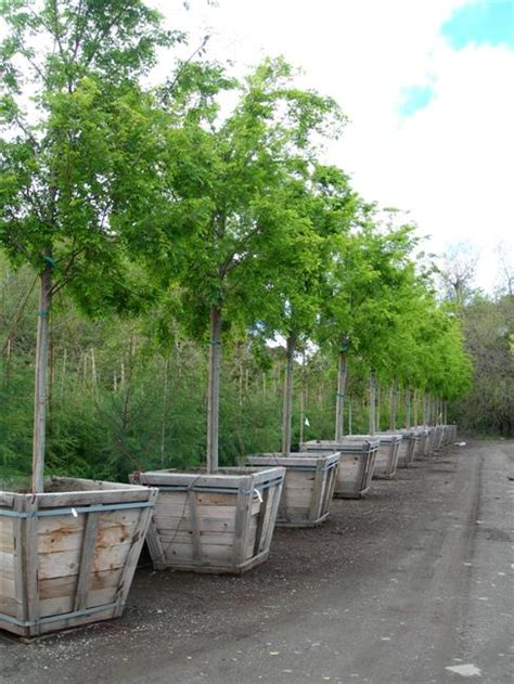 top 28 15 gallon tree cost 15 gallon windmill palm