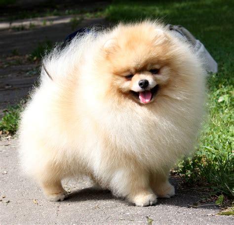 pomeranian caracteristicas image gallery imagenes de perros pomeranian