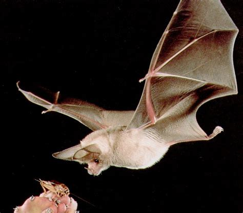 bat in bedroom while sleeping human rabies from bats another look at the numbers hiv
