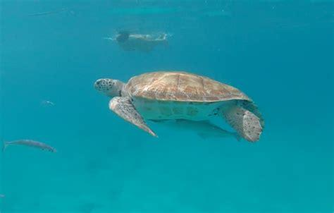 cool runnings catamaran barbados facebook catamaran cruising and swimming with turtles in barbados