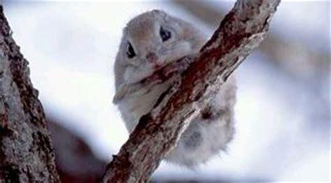 scoiattolo volante giapponese scoiattolo volante o petauro