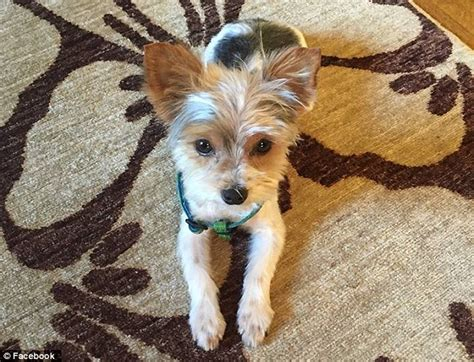 biewer yorkie teacup stolen teacup biewer yorkie returned to alabama owners after appeal daily