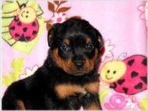 rottweiler puppies mn dogs minnesota free classified ads