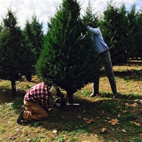 mississippi christmas tree farm pine ridge tree farm home