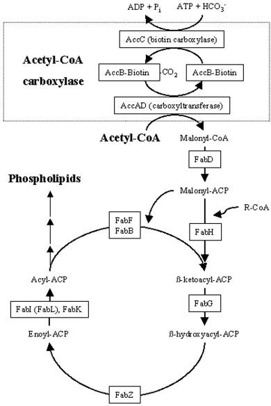 fatty acid synthesis pathway diagram bacterial fatty acid synthesis pathway fas type ii