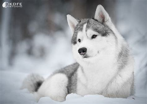 prettiest dogs beautiful alaskan husky siberian husky the most beautiful breed in the world