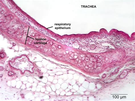 histological section respiratory np histology