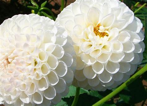 imagenes flores blancas flores blancas dalias im 225 genes y fotos