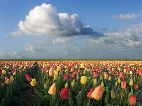 netherlands tulip fields crisis pictures dutch tulip mania