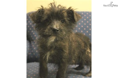 yorkie puppies for sale in sioux city ia boy b terrier yorkie puppy for sale near sioux city iowa 693a935a 0951