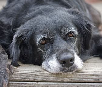 senior dogs caring for senior dogs what you need to