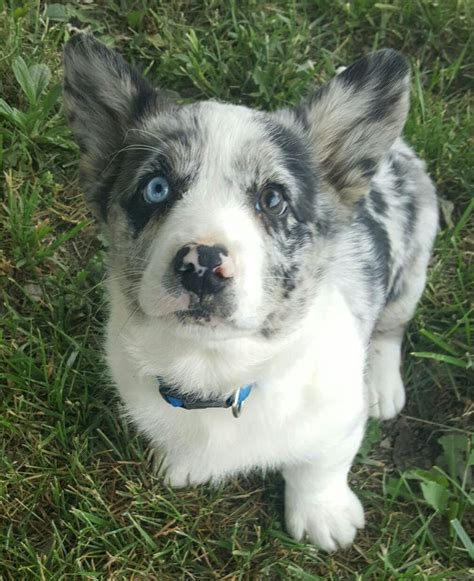 blue merle corgi puppies 25 best ideas about blue merle corgi on cardigan corgi puppies
