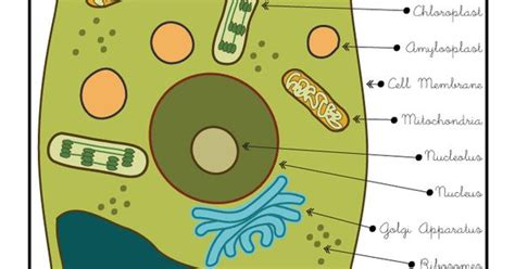 plant cell diagram for 5th grade printable cell diagrams plant cell diagram classroom jr