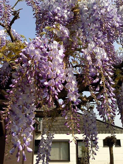 blauwe regen kopen boskoop chinese blauwe regen wisteria sinensis 180 prolific