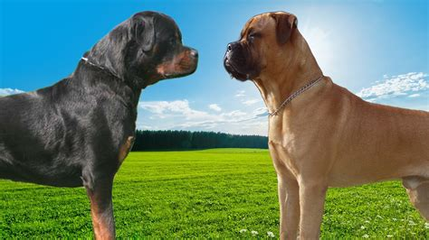 mastiff rottweiler rottweiler vs bullmastiff highlights