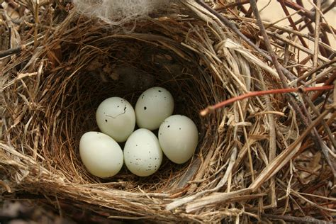 File Carpodacus Mexicanus Eggs Jpg Wikimedia Commons