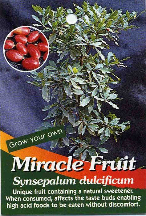 miracle tree fruit miracle fruit synsepalum dulcificum buy miracle fruit