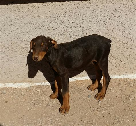 Amex Gift Card Venmo - puppies for sale rottweiler doberman pit bull mastiff akc
