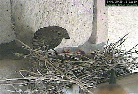 baby house finch pictures live webcam of house finch bird nest