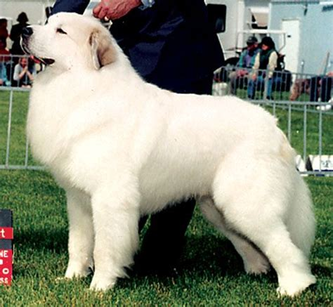maremma vs golden retriever 78 images about dogs great pyrenees on puppys golden retriever mix and