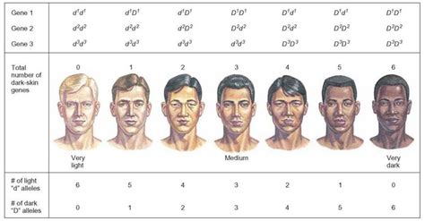 what determines skin color modified mendelian patterns patterns of inheritance