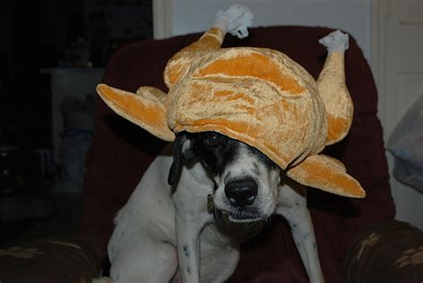 turkey dogs 13 pictures of dogs and cats dressed up for thanksgiving