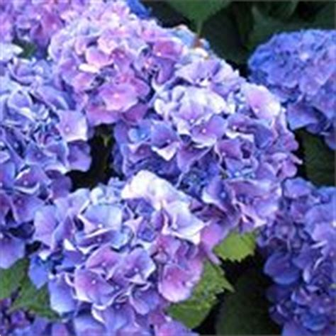 come curare l ortensia in vaso piante da giardino
