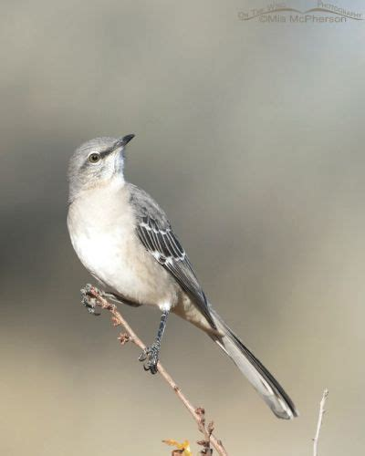 mockingbird predators cooperative northern mockingbird in autumn mcpherson s on the wing photography